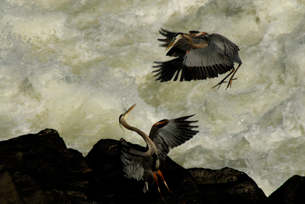 Two great blue herons fighting above the Potomac River's Great Falls in Maryland.