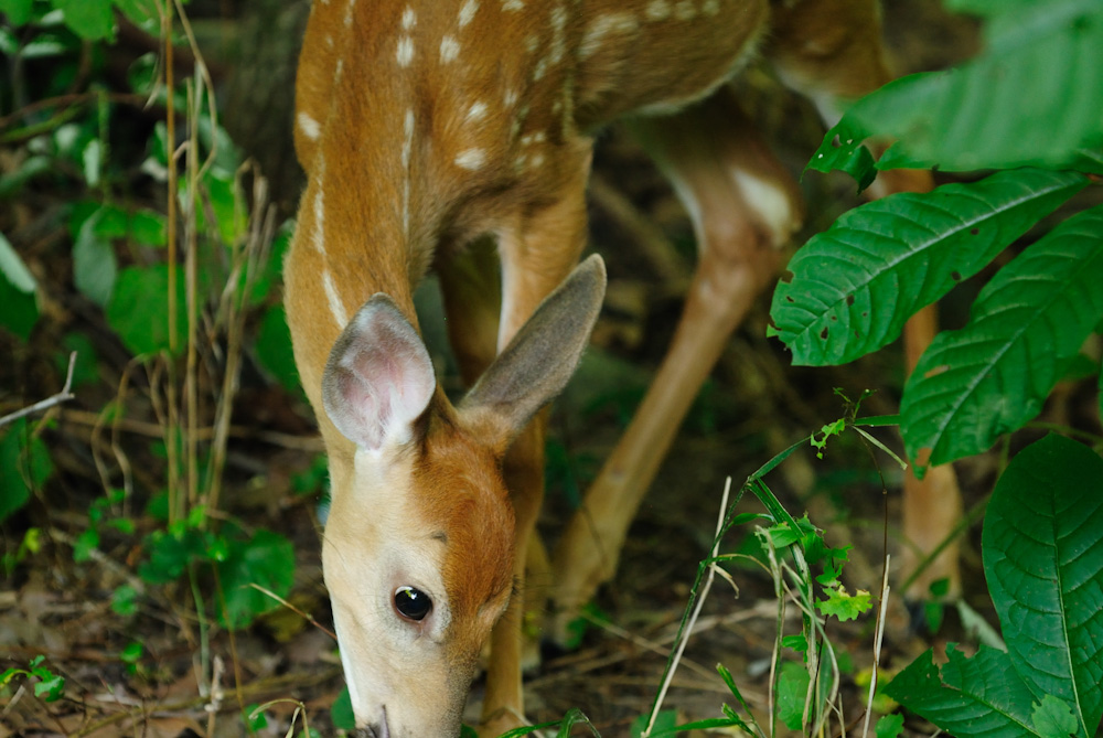 White-tail fawn foraging in the underbrush. Great Falls Park, Virginia.