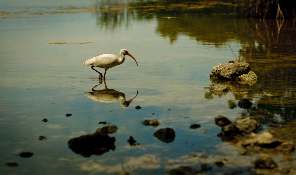 White Ibis, Florida Keys