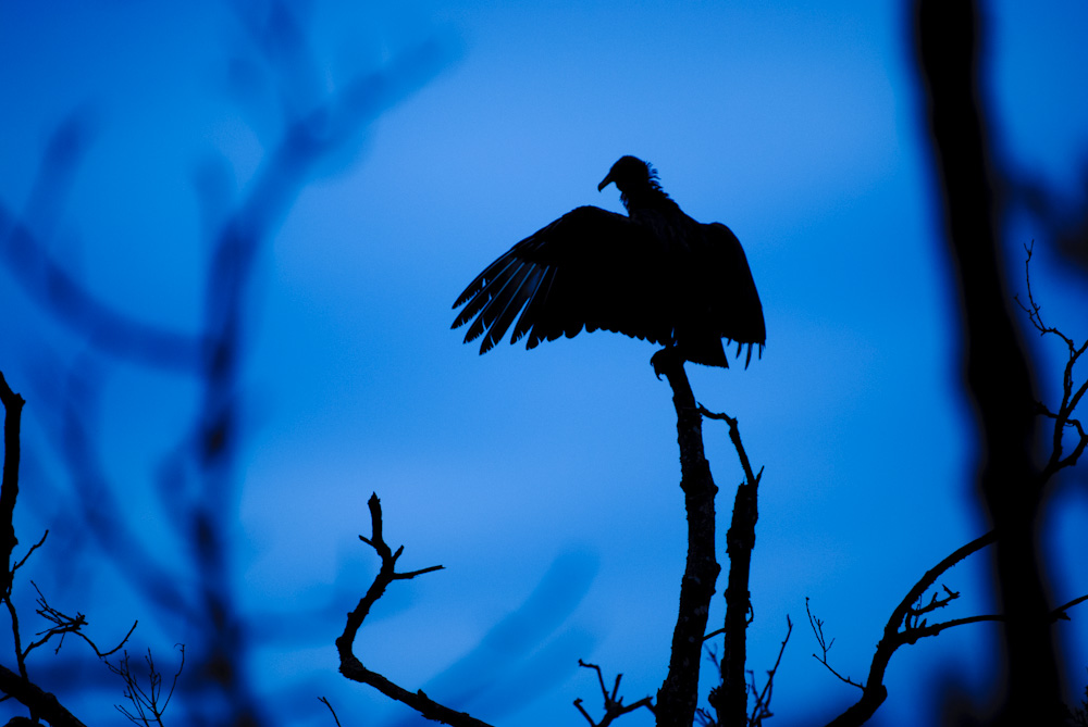Black Vulture drying its wings, perched on a dead branch. Great Falls, Maryland.