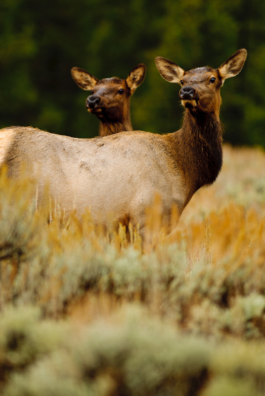 Two female elk, listening to bull elk bugle. jackson hole wyoming