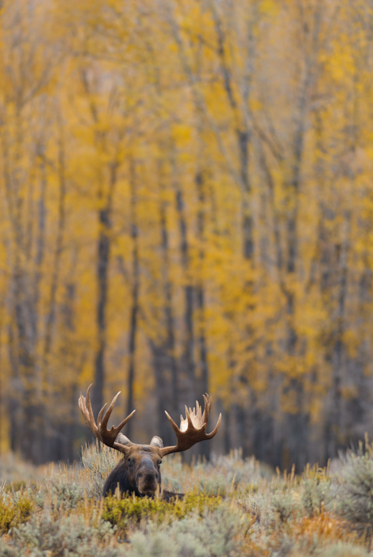 Bull moose with aspens in wyoming, jackson hole