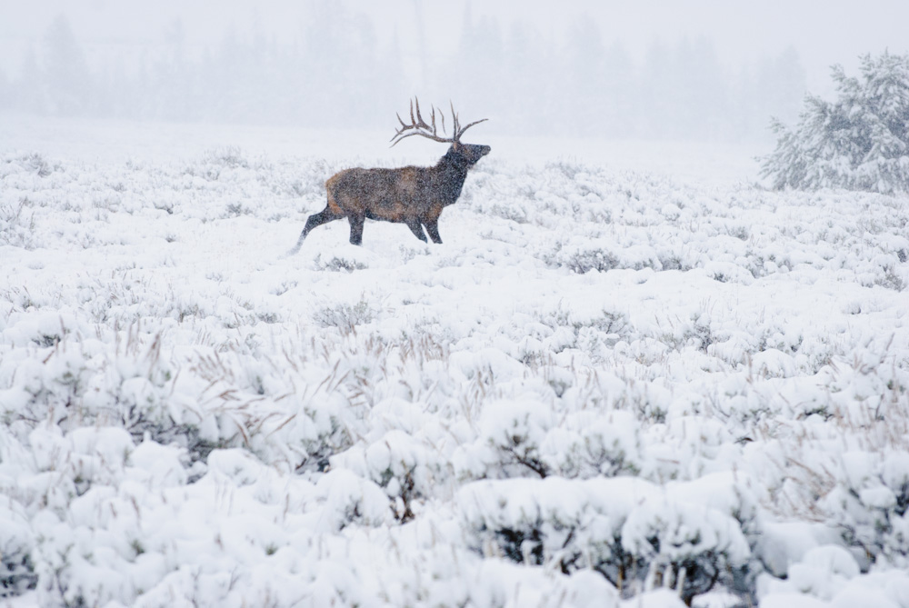 A bull elk on a snowy morning in Grand Teton National Park, Wyoming.