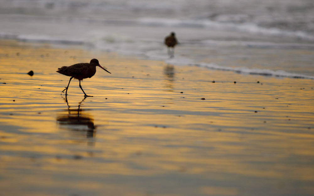 Marbled Godwit silhouetted in the surf.