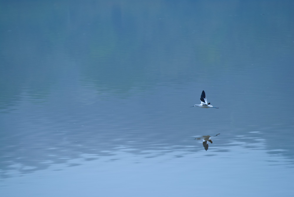 An American Avocet flies just above the water at Bolinas Lagoon.