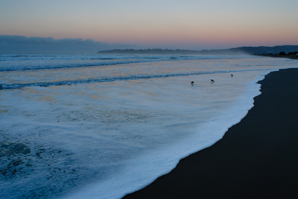 Godwits in the surf. Stinson Beach.