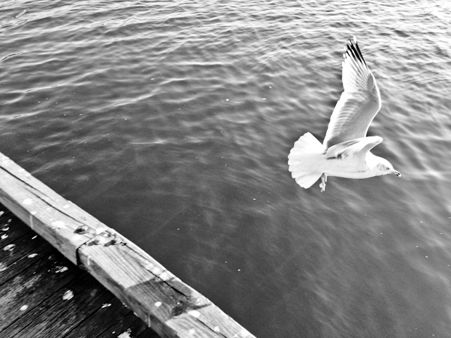 A seagull takes flight in Georgetown, Washington DC