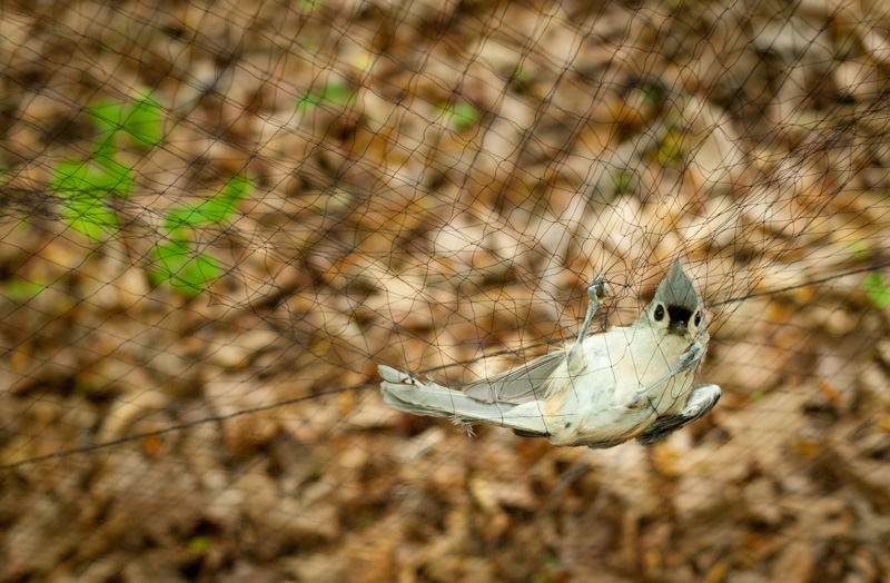 Tufted titmouse at Jug Bay, Maryland