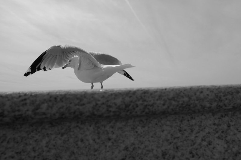 seagull near Lincoln Memorial, washington dc