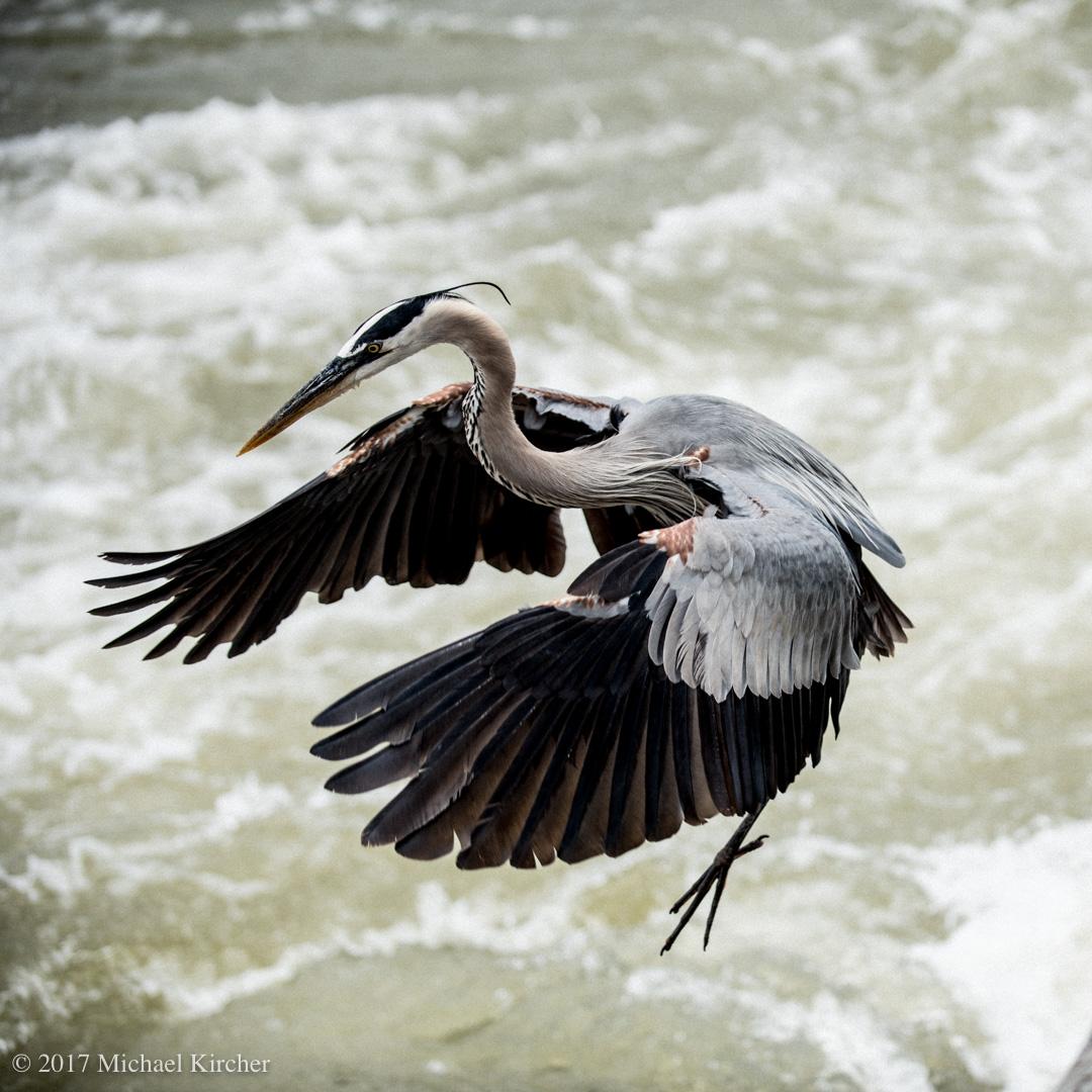 Great blue heron at the potomac river near great falls, Virginia.