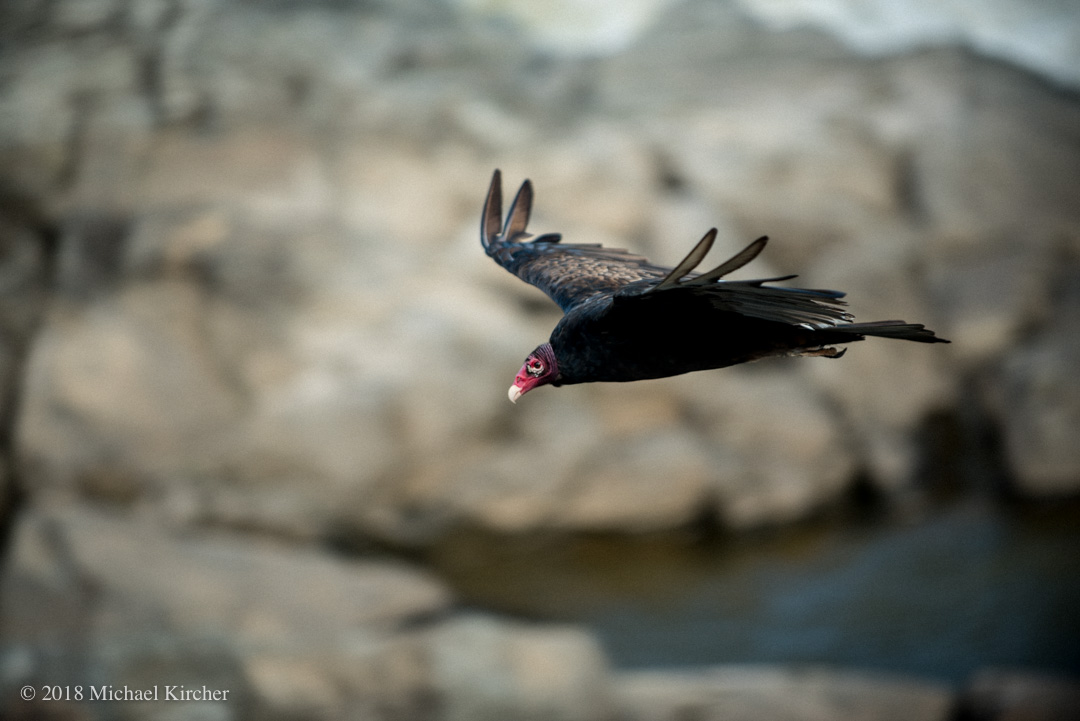 Adult turkey vulture flies over the Potomac River.