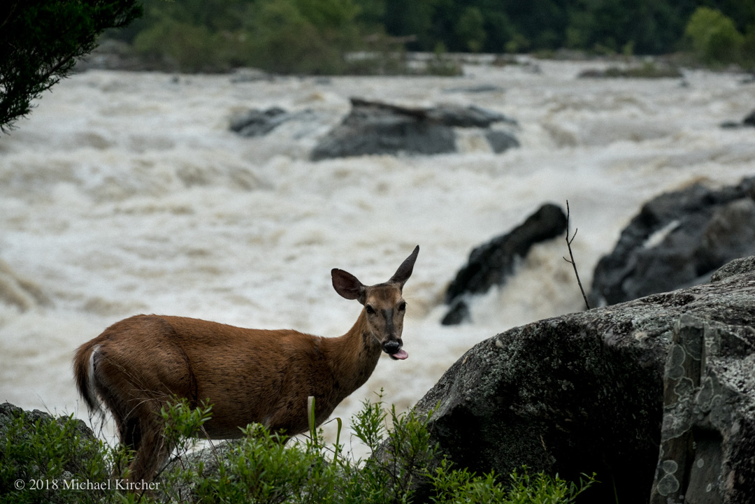 A deer stands on the rocks above Great Falls.
