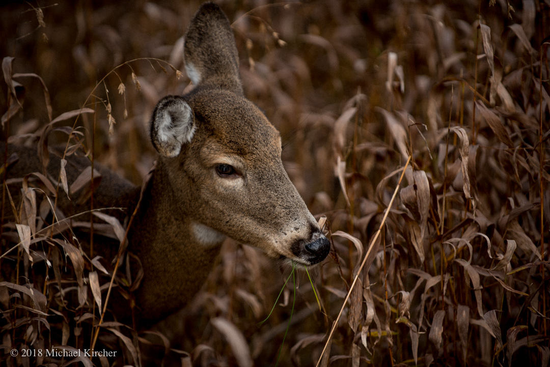 Portrait of a whitetail deer in tall grasses.