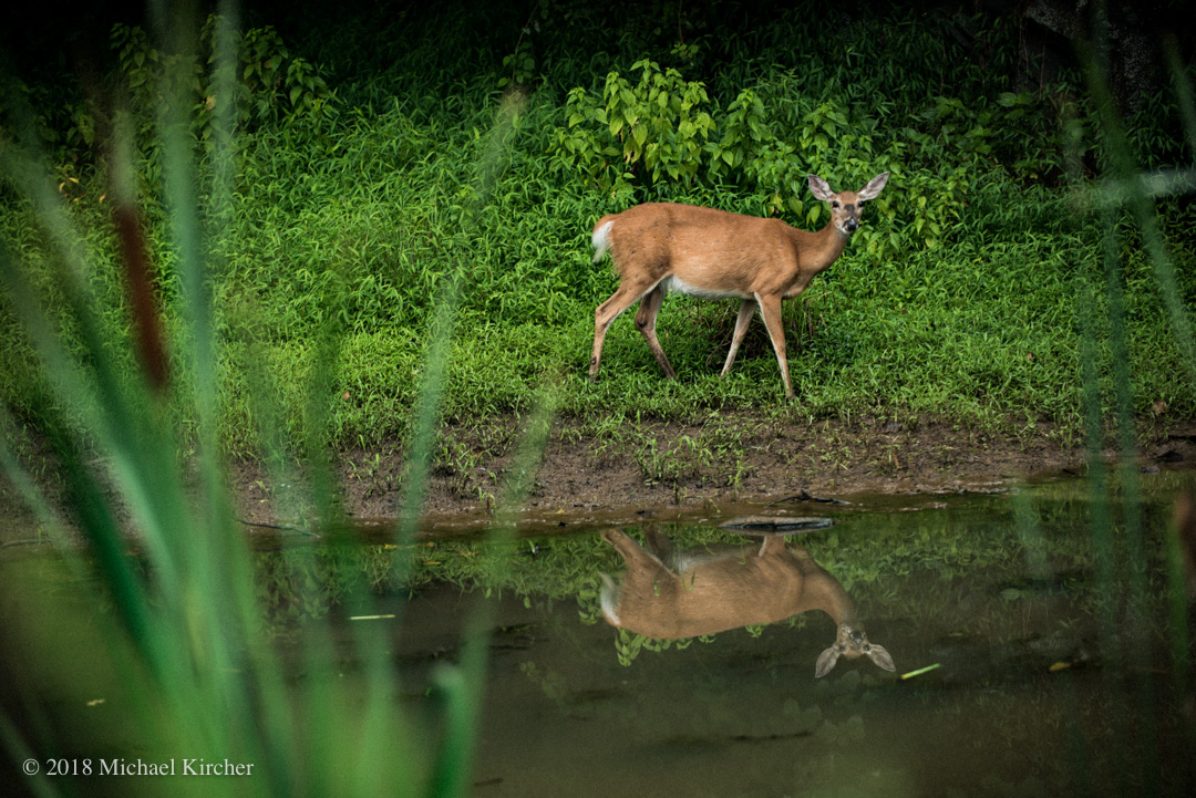 whitetail deer and reflection.
