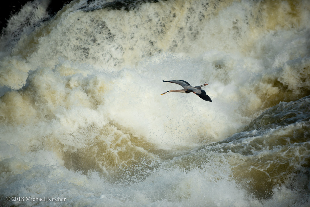 Great blue heron in flight above Great Falls.