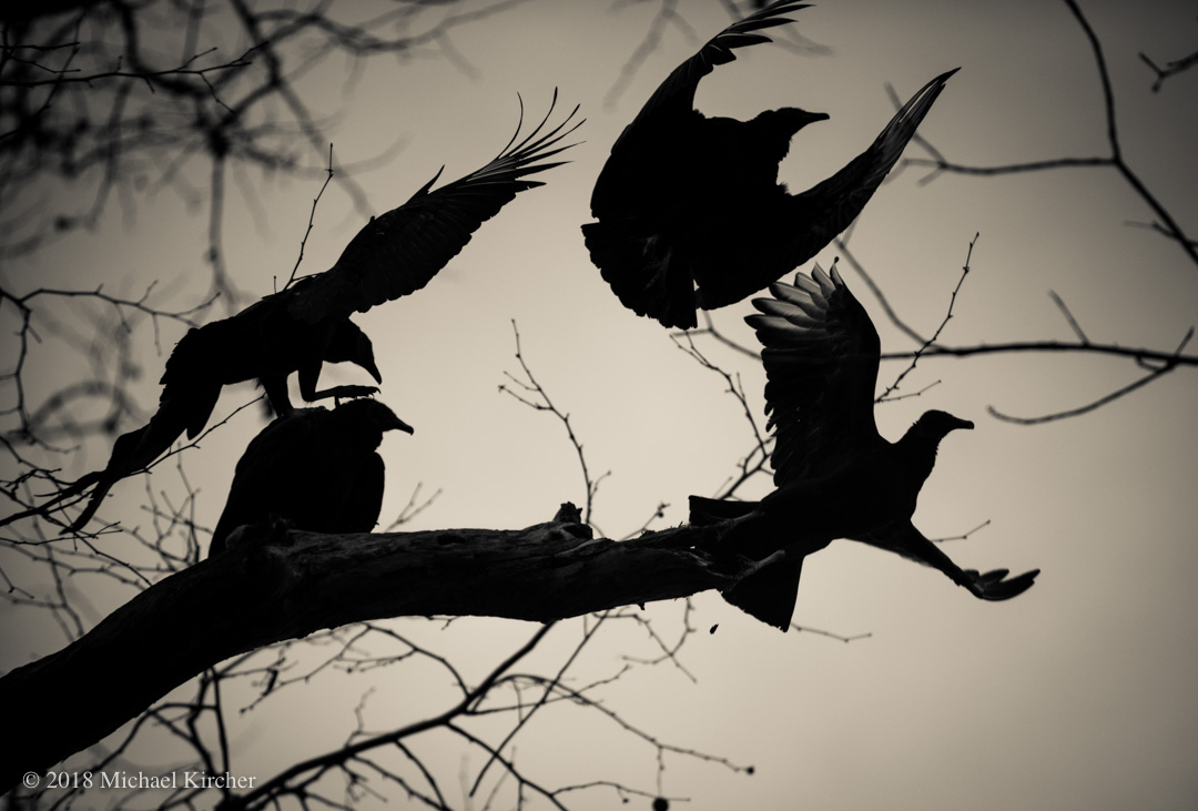 Black vultures taking flight.