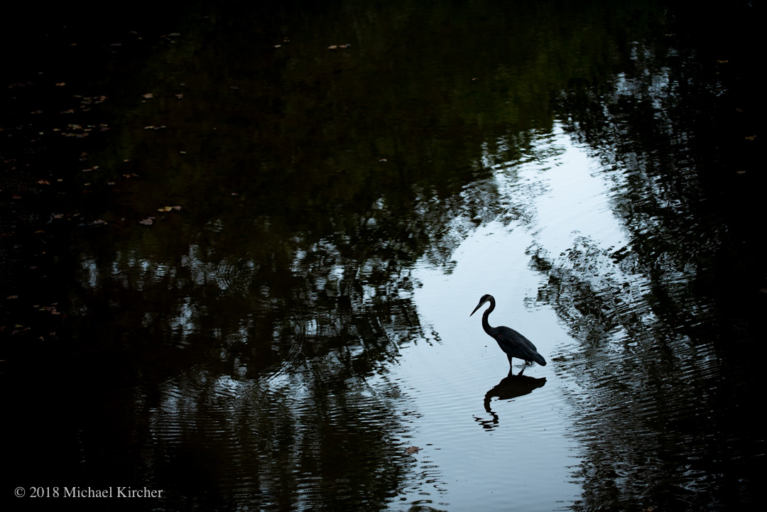 Great blue heron silhouetted with reflection.