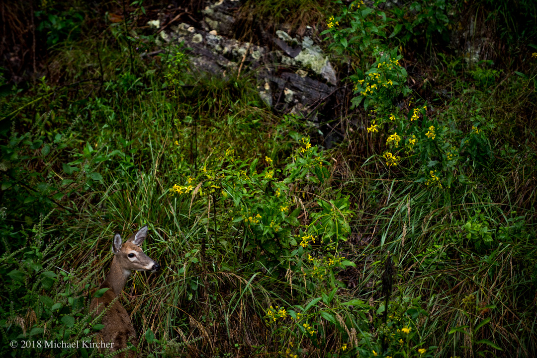 A young whitetail deer hides in the underbrush hillside at the C&O Canal.