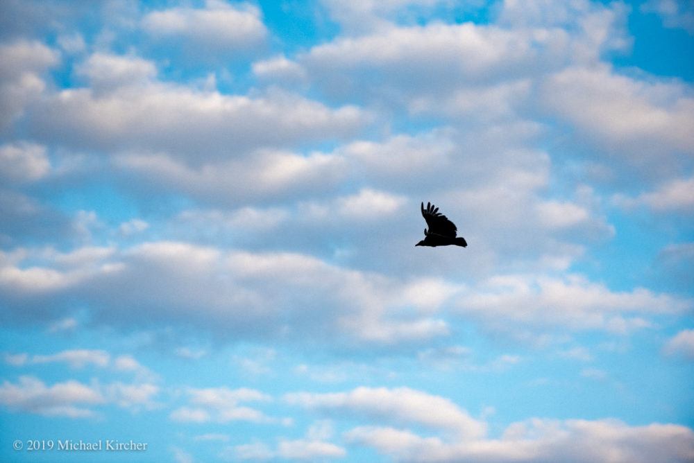 Black vulture, blue skies, white cloud. C&O Canal Maryland.