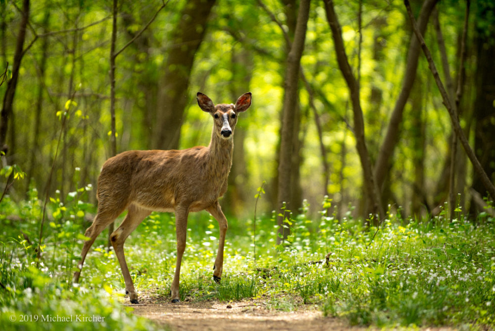 Whitetail doe stares at the photographer as she has her portrait taken. C&O Canal NHP, Maryland.