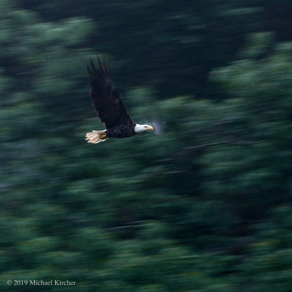 Bald Eagle in flight above Widewater at the C&O Canal in Maryland.