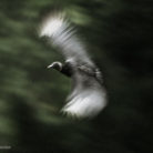 Black vulture in flight at C&O Canal in Maryland