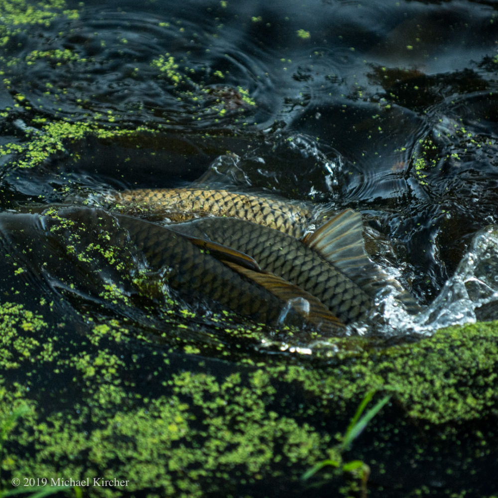 three carp break the surface of the canal. C&O Canal NHP Maryland.